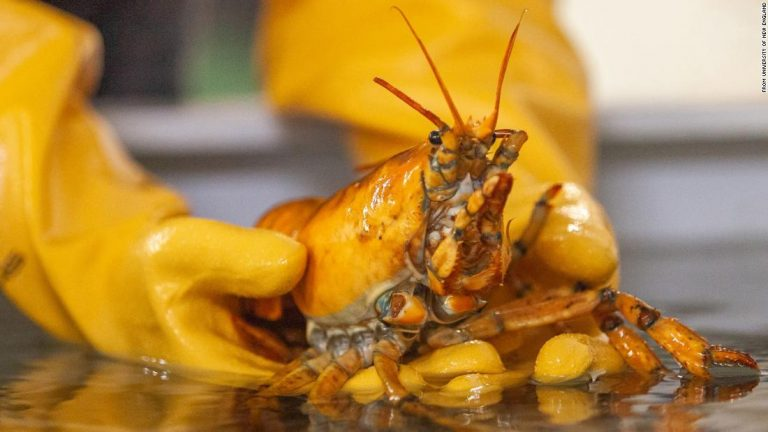 A rare yellow lobster, named Banana, has been caught off the coast of Maine
