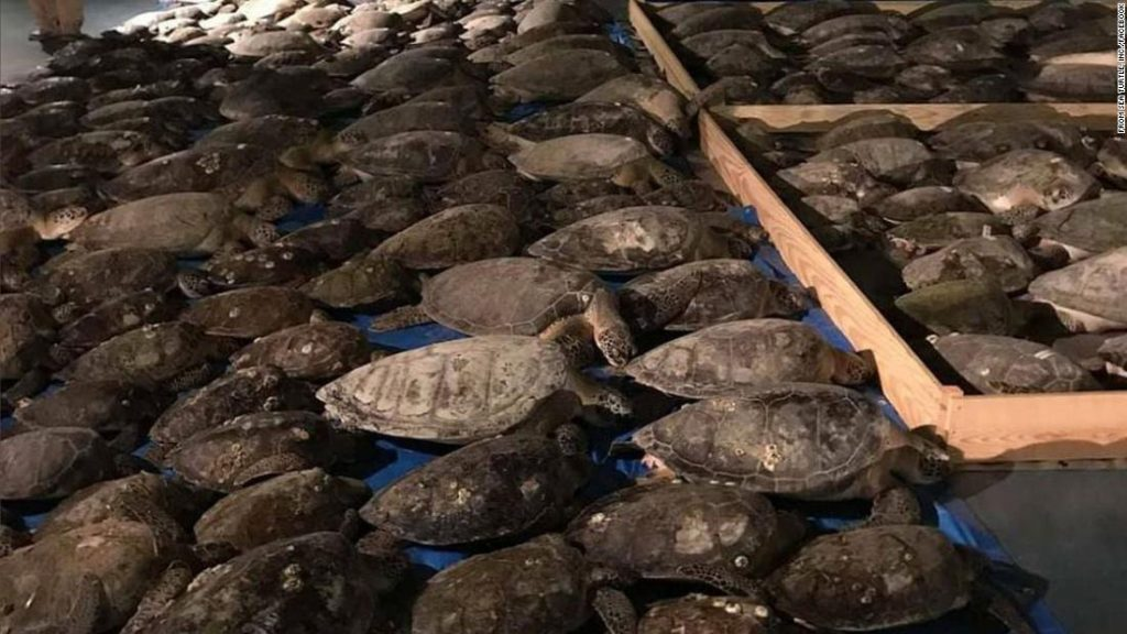 Thousands of turtles have been rescued from freezing waters in Texas