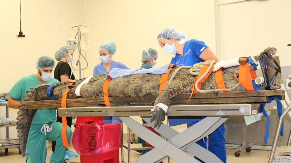 350-pound crocodile undergoes major surgery to remove tourist's shoe from stomach