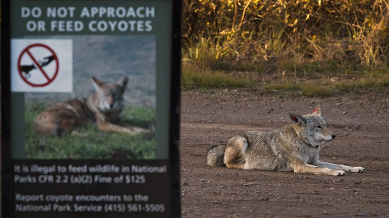 Coyote Attacks Have Residents On Edge In The San Francisco Bay Area : NPR