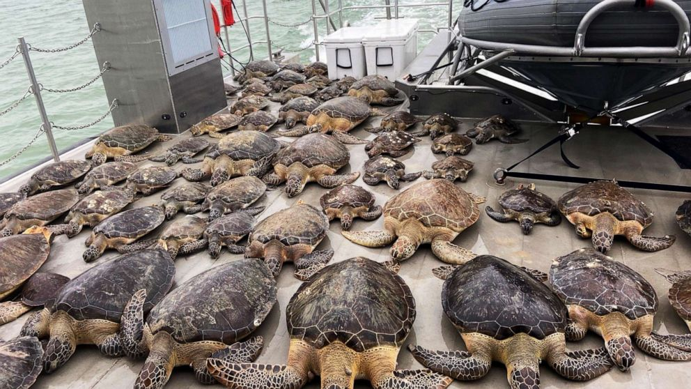 Thousands of cold-stunned turtles rescued from freezing temperatures in Texas nearing release