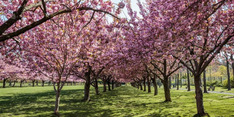 Cherry-Blossom Season Returns After Pandemic Hiatus