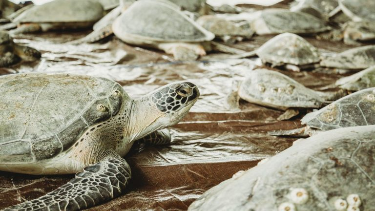'Cold-Stunned' Endangered Sea Turtles Saved By Biggest Rescue In History : NPR
