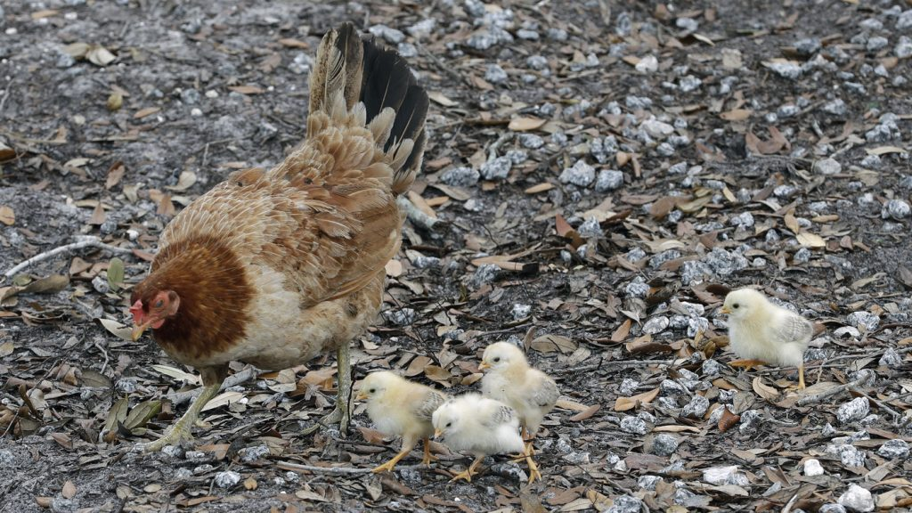 Don't Kiss Your Chickens, The CDC Says In Salmonella Warning : NPR