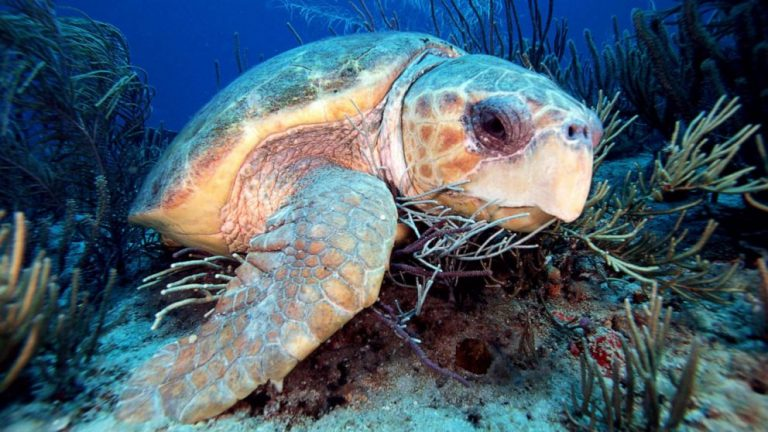 Battle brewing between turtle rescuers, Florida's wildlife commission