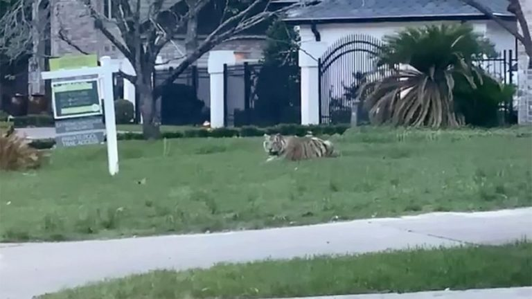 Alleged murderer and his tiger wanted in Houston after ditching police in high-speed pursuit