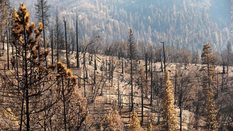 At least 10% of the world's giant sequoias lost in a single wildfire
