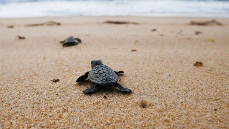 Unraveling the mystery behind a turtle's seemingly impossible journey