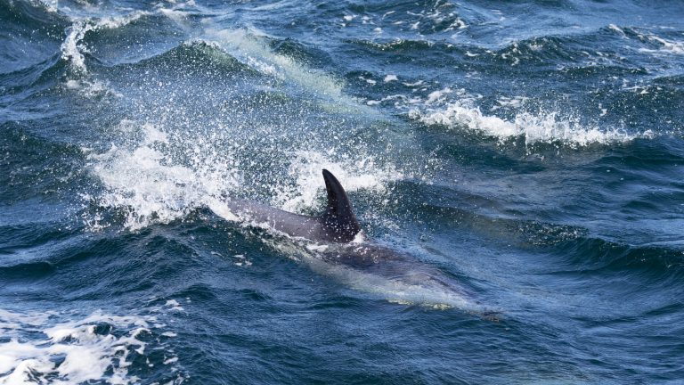 A Lobster Diver Was Nearly Swallowed By Humpback Whale : NPR