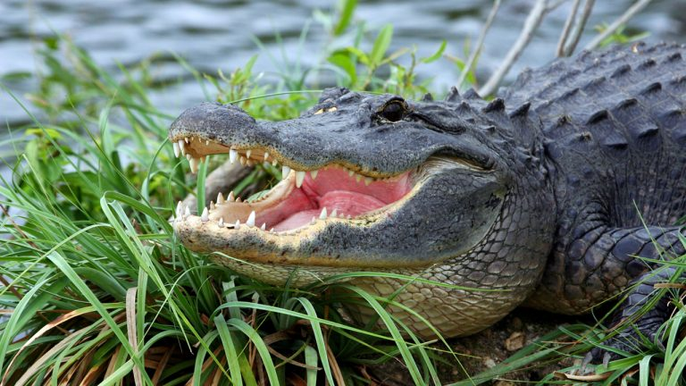 Florida woman, 74, saves pet dog from alligator attack: report